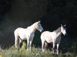 les cheveaux en lumiere rencontrés ... i cavalli in luce incontrati