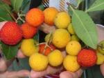 arbouses ... corbezzole ... arbustus berries