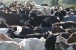 Capre, capre e capre ...