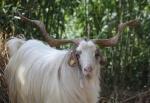 Ricordo di uno straordinario caprone